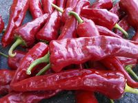 """'Canoncito' New Mexico Landrace Chilies (Peppers): From Loretta Sandoval. Rapid growth and precocious flowering of these diverse chilies. For transplants don't plant too early—perhaps two weeks later than our Italians. Makes thick sets of 3–6"""" mild thin walled chilies at our coldest location, and no plastic mulch."""