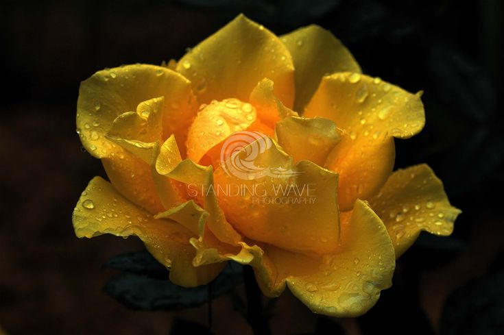 Yellow Upright Rose - Standing Wave Photography