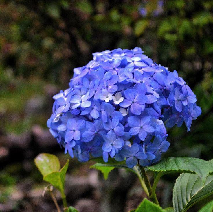 Las hortensias son arbustos que provienen del Extremo Oriente del mundo pero que también pueden encontrarse en Venezuela en zonas de climas templados. Estas flores pertenecen a ese grupo de plantas que nos asombran por ser parte de los #coloresdelabiodiversidad que tanto nos gustan. Estas hermosas flores al crecer son de color verde y luego se tornan de colores como rosas moradas y azules. Lo que tal vez no sabes es que el color de las flores depende y se ven afectados por los iones de…