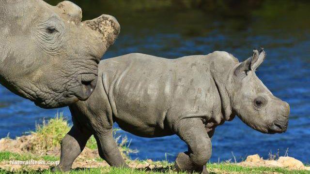 COWARD!!!---Jimmy John's owner spent $350k to 'trophy hunt' extremely endangered female Black Rhino