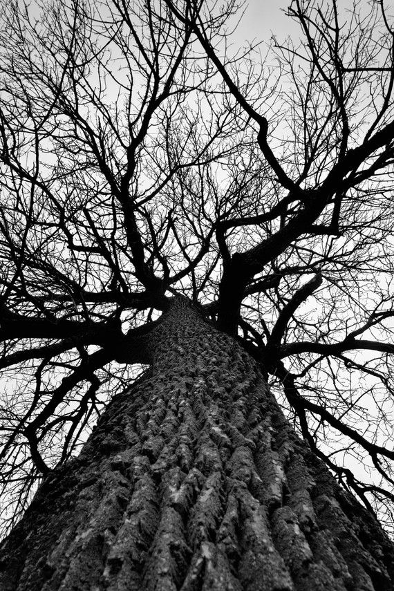 Giant Cottonwood Tree In Winter Black And White Photograph By