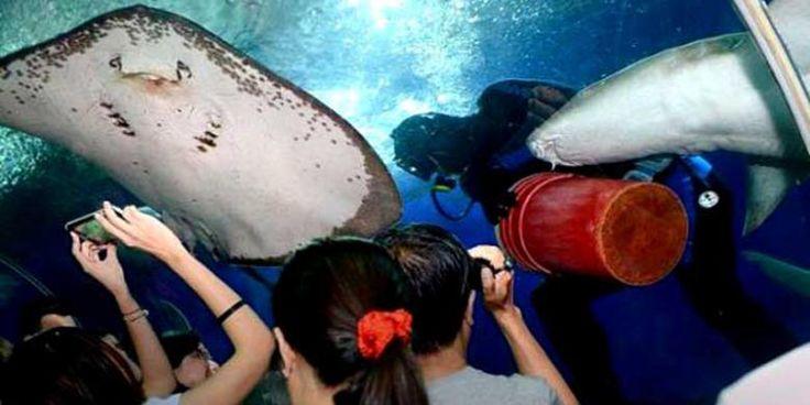 Penyelam Singapura Tewas Dihantam Ekor Ikan Pari di Akuarium Raksasa - KOMPAS.com
