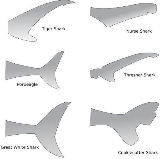 17 Best Images About Shark On Pinterest