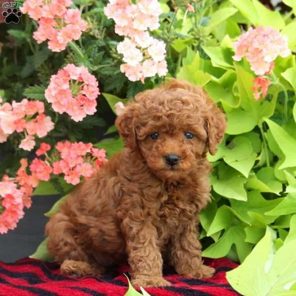 Raven Miniature Poodle Puppy For Sale In Pennsylvania Poodle