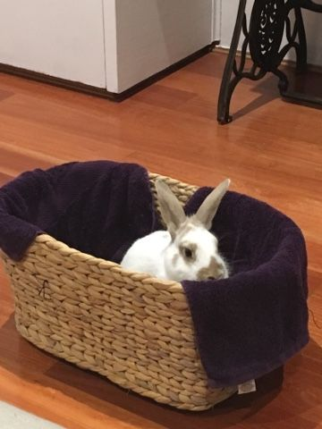 Rabbit Rescue Sanctuary: Small house rabbit for adoption in Sydney