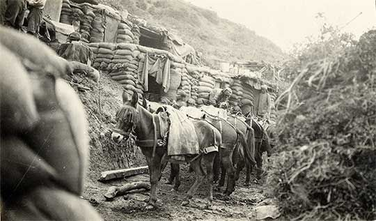 Historic photo: pack mules in a trench at Mule Gully, sandbagged store houses in background