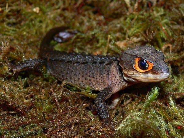 29 best images about Tribolonotus gracilis on Pinterest ...