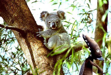 loup_koala.jpg, nov. 2014