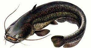 Для ловли сома  выбор приманки важный этап рыбалки. Есть небольшой секрет улучшить число подходов хищников к крючку с рыболовной наживк...