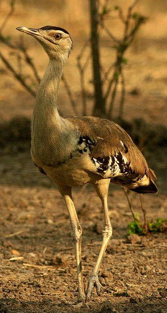 Australian Bustard also called the Plains Turkey