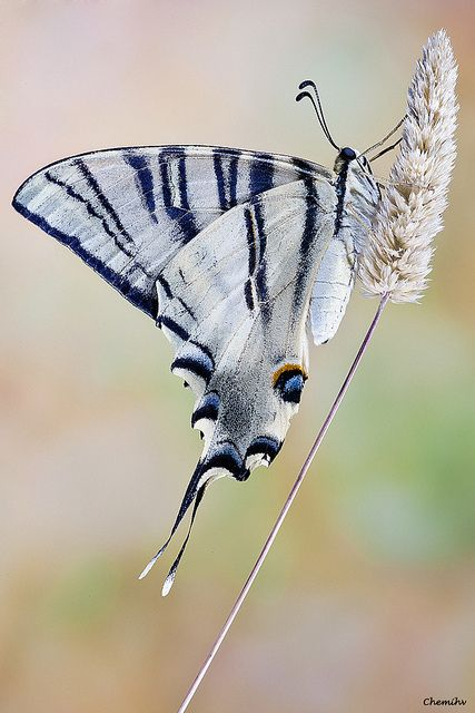 The Scarce Swallowtail butterfly (Iphiclides podalirius)