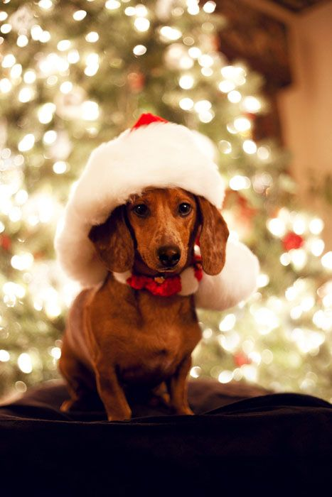 Dachshund Merry Happy Christmas Day Card Puppy Holiday Dogs Santa Claus Dog Puppies Xmas #MerryChristmas Doxie