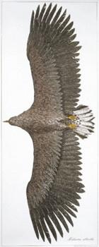 Eagle poster by Finnish graphic designer Erik Bruun