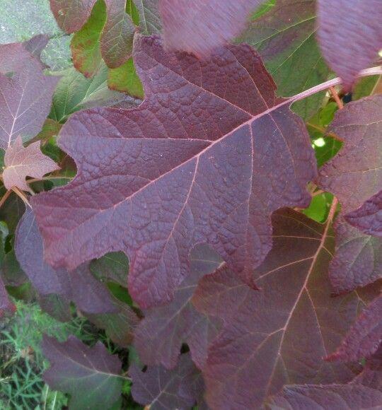 Eikeblad hortensia , quercifolia