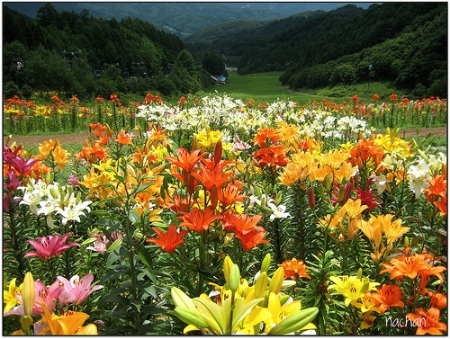 I Would Love This Lily Garden