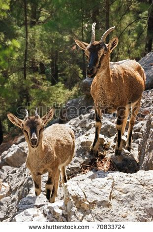Wild Goats Kri-Kri In Samaria Gorge, Crete, Greece. Stock Photo ...