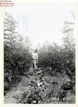 Cotton Crops in Boley Oklahoma Historical Society