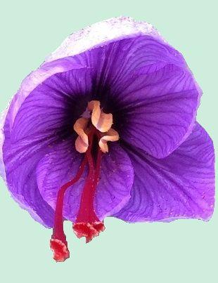 fleur de safran de la roseraie d'angel