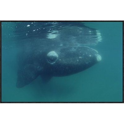 East Urban Home 'Southern Right Whale Juvenile, Underwater, Peninsula Valdez, Argentina' Photographic Print Size: