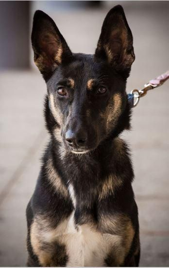Harley - German Shepherd Dog/ Saluki mix - Female - 10 months old - Magnificent Mutts Rescue - Hillside, IL. - http://magnificentmutts.org/adopt/dogs/ - https://www.facebook.com/MagnificentMutts/ - http://www.adoptapet.com/pet/17577327-hillside-illinois-german-shepherd-dog-mix - https://www.petfinder.com/petdetail/37374653
