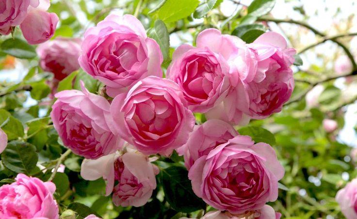 Die rosafarbende Kletterrose 'Jasmina' überzeugt durch einen kräftig süßen Duft