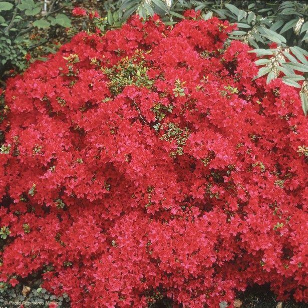 Azalée du Japon Hino-Crimson - Rhododendron hybride
