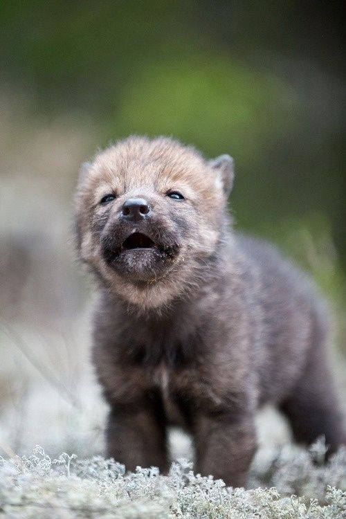 a tiny baby wolf on a white ground in front of a bush