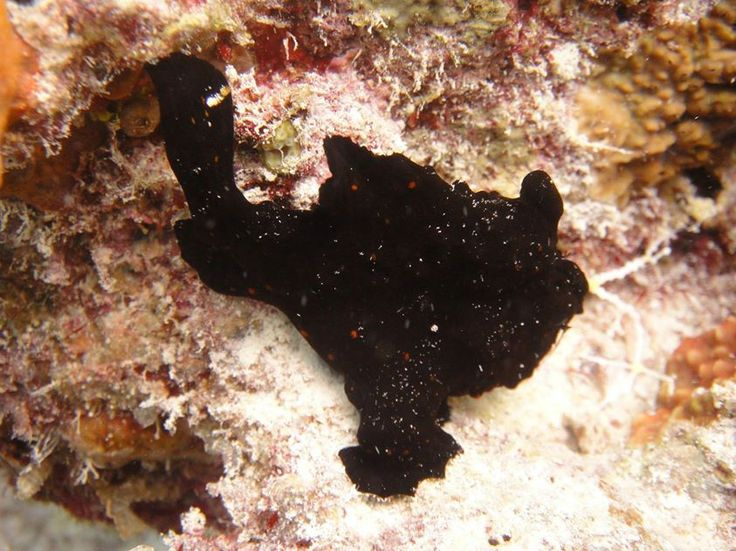frog fish at fish head