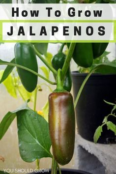 Backyard vegetable gardening: Jalapeno peppers are a staple in our summer garden. They are really easy to grow and produce like crazy. Learn about growing jalapenos and how preserve the harvest.