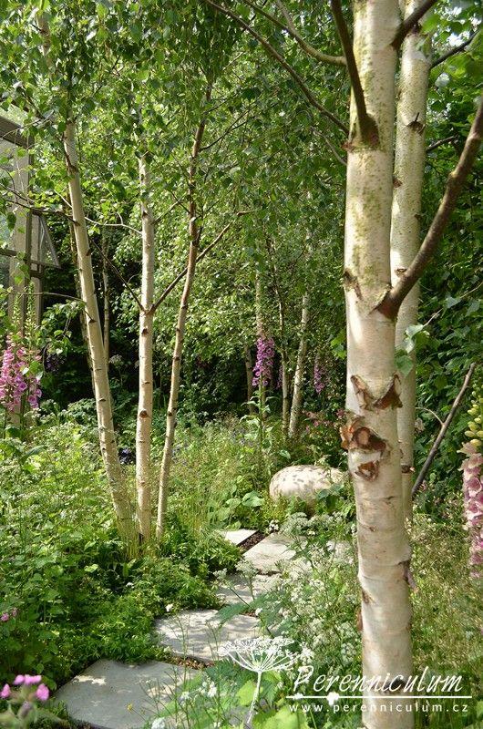 Mezi bílými kmeny bříz kvetou trvalky světlých hájů a mýtin - náprstníky (Digitalis), orlíčky (Aquilegia) či zástupci rodu miříkovitých.