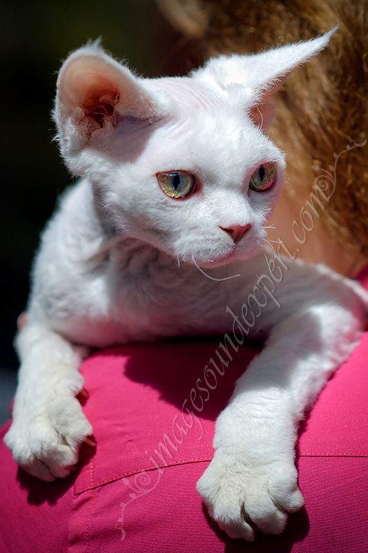 exhibition of cats  Persian, Exotic, Maine Coon, Norwegian Forest, Ragdoll, Siberian Turkish Angora, Bengali, British Shorthair, Cornish Rex, Devon Rex, Don Sphynx, Russian Blue, Singapura, Sphynx, Oriental & Siamese