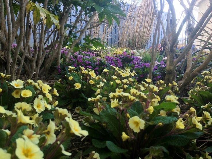 Twitter / PatFitzGerald: Irish bred Primroses in our ...