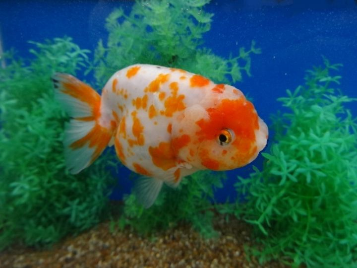 Fantail Goldfish Carassius Auratus Elevated View Photograph By Don Farrall Fantail Goldfish Goldfish Tattoo Goldfish