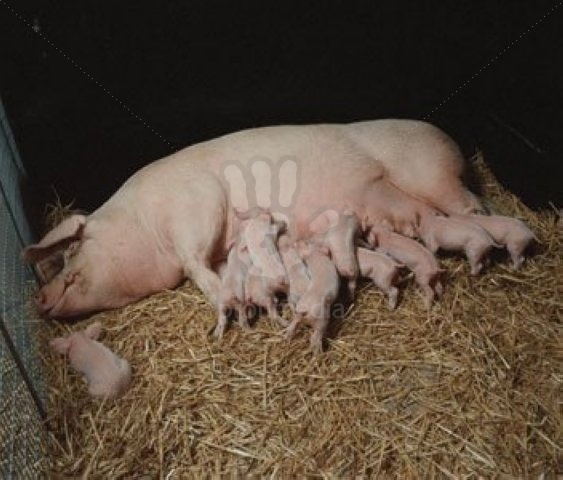 White sow and piglets :-). Please consider eating less meat, or none.