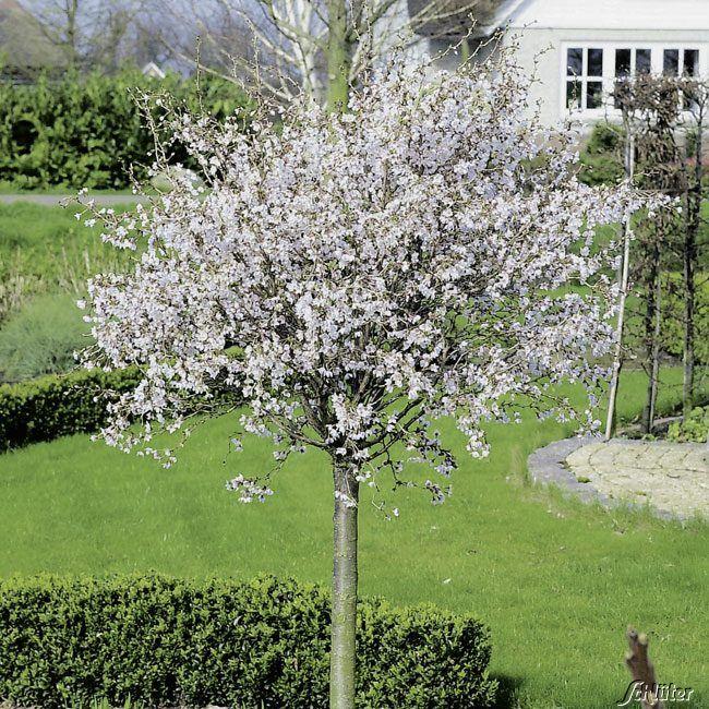 Geschlitzte Kirsche Kojou No Mai 60 Cm Stamm Garten Schluter Garten Zierkirsche