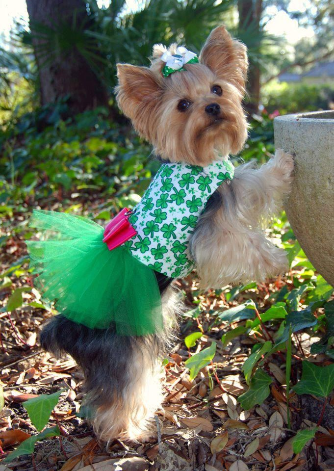 Bit too over dressed if you ask me but the attitude of the Yorkie amazes me to say I like it. Shamrock Tutu Harness Dog Dress by KOCouture on Etsy