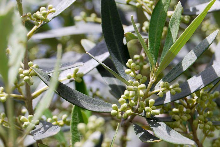 Eliris olive blossom May 2014