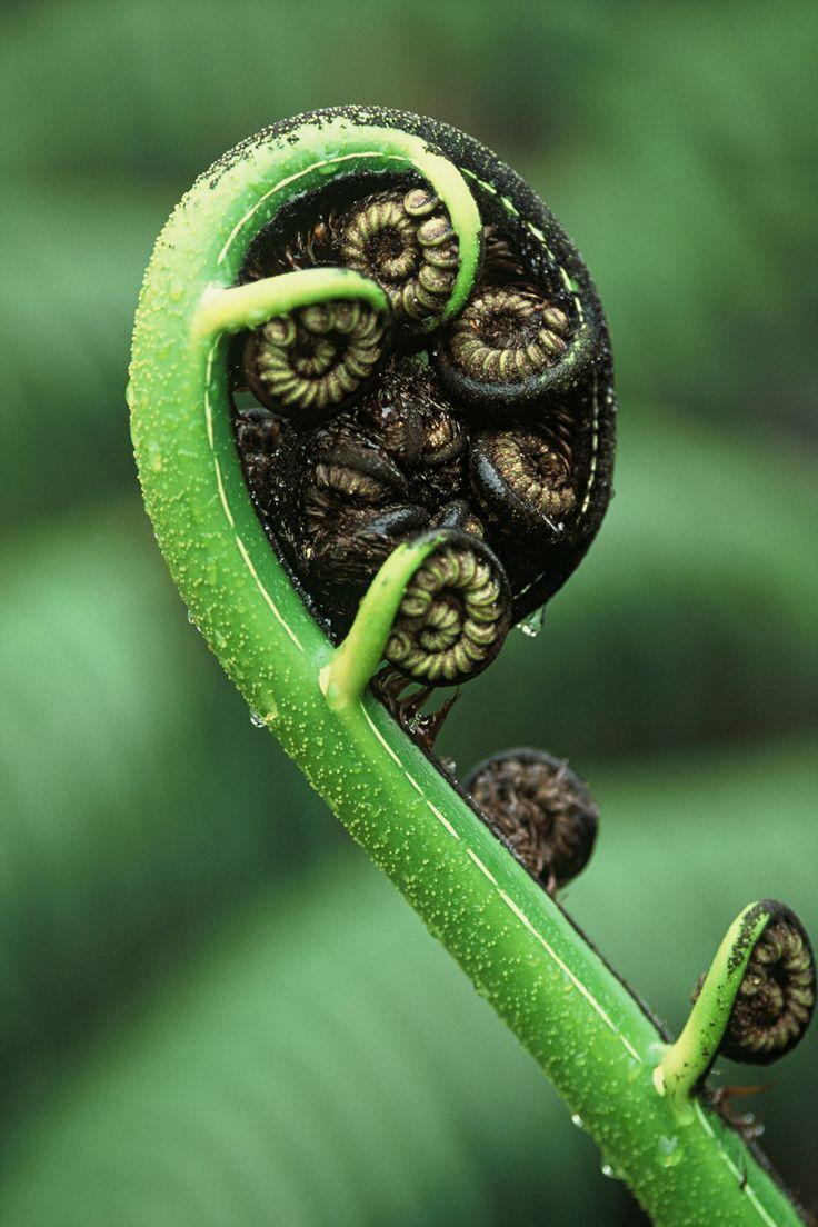 Mamaku. Black tree fern frond. Photo: Paul Schilov