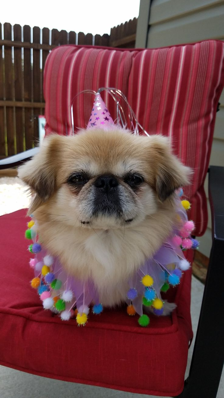 "Pin on Pekingese Party Dogs ""Party Peke's"""