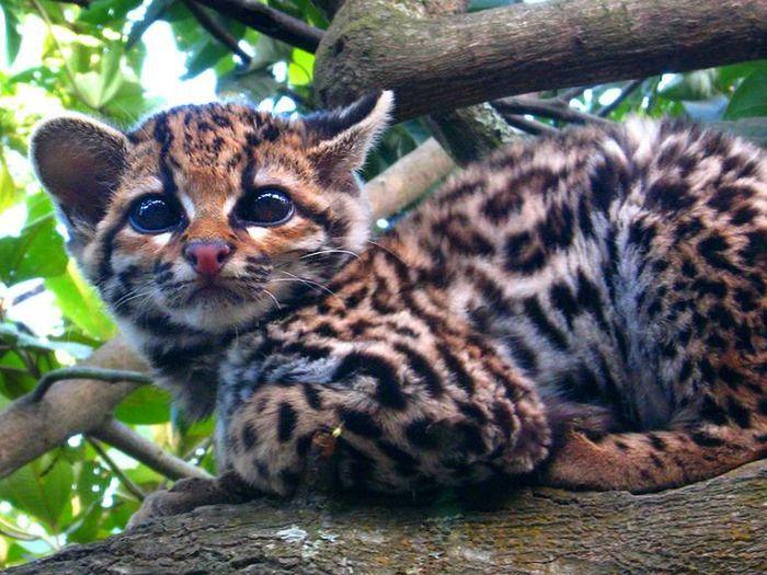 Новорожденные котята Онциллы весят 58-116 г.