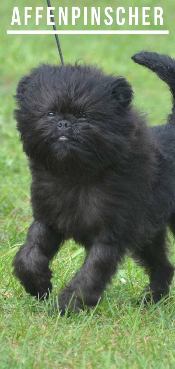 Affenpinscher Dog Breed Information Center A Complete Guide Affenpinscher Dog Affenpinscher Puppy Dog Breeds