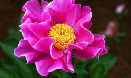 Paeonia Lactiflora 'Clown', Peony 'Clown', 'Clown' Peony, Chinese Peony 'Clown' , Common Garden Peony 'Clown', Pink Peonies, Pink Flowers, Fragrant Peonies