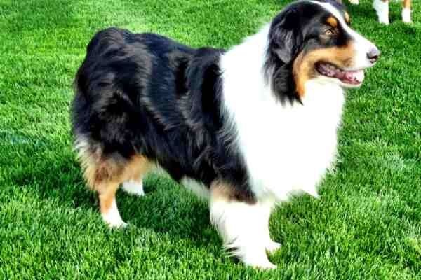 Beautiful AKC Australian Shepard!!!! LOVE THIS GUY!  This is Champ!  We adopted him today.