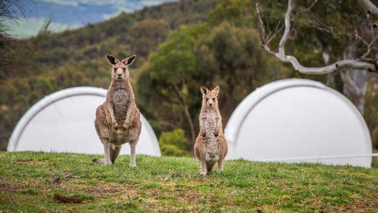 Two kangaroos on the ANU campus