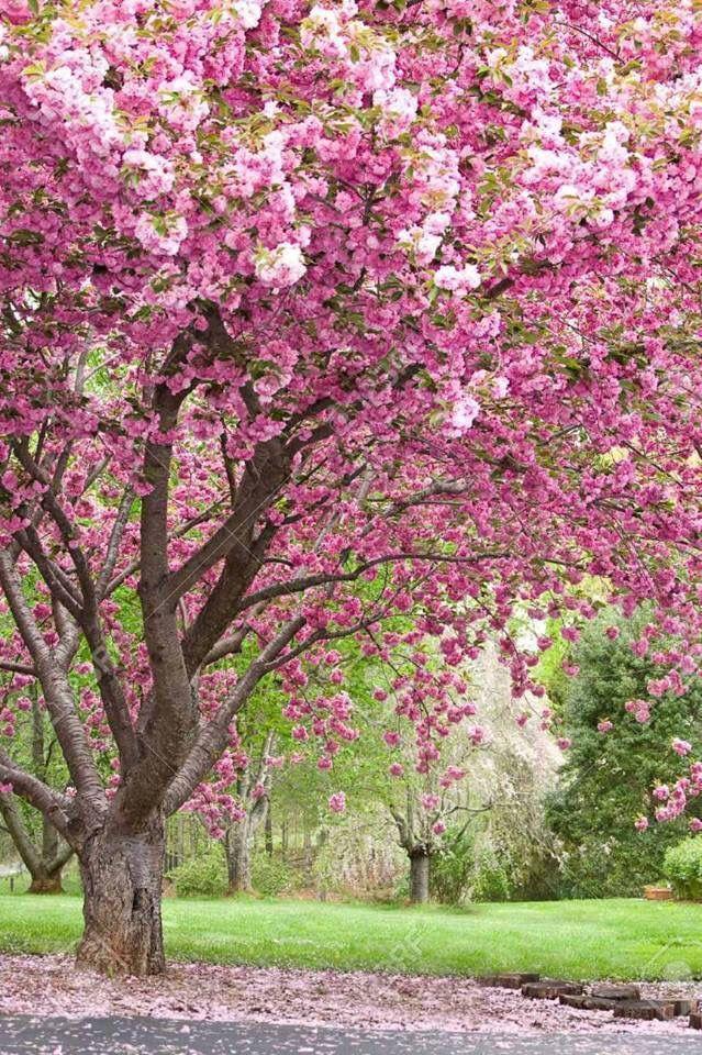 3f1f3157acdacc245ec26e5453dde040 Jpg 639 960 Pixels Flowering Cherry Tree Flowering Trees Blossom Trees