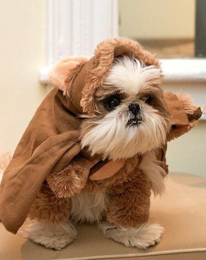 Ewok Pup.Puppies, Dogs, Halloween Costumes, Tzu Ewok, Star Wars, Stars Wars, Shihtzu, Shih Tzus, Animal