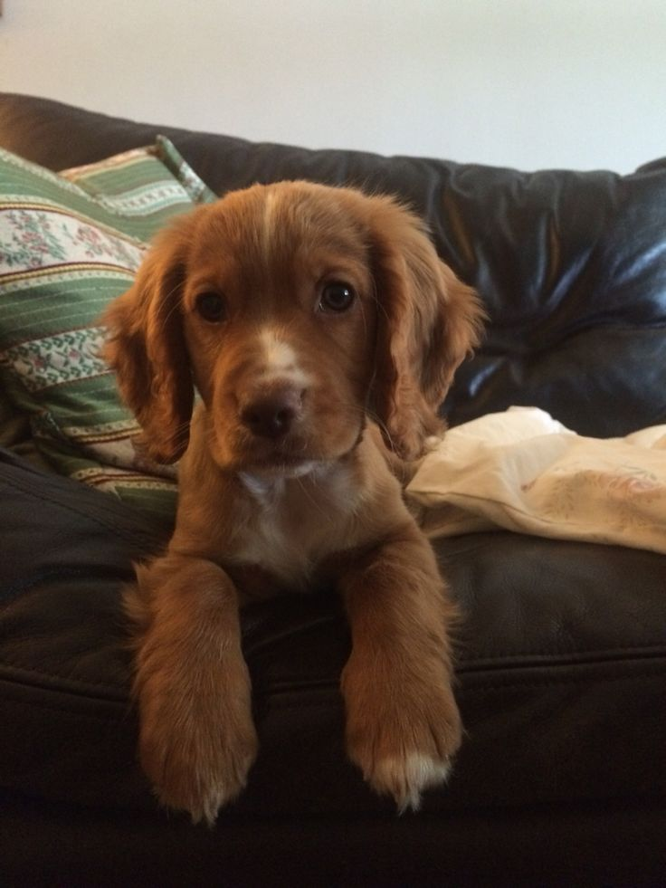 golden cocker spaniel puppies fluffy friends pinterest best 25 working cocker ideas on pinterest spaniels
