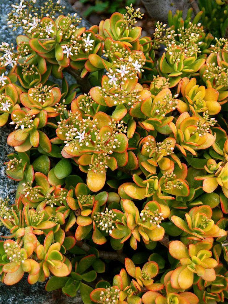Crassula ovata 'Hummel's Sunset' – Golden Jade Tree - See more at: http://worldofsucculents.com/crassula-ovata-hummels-sunset-golden-jade-tree