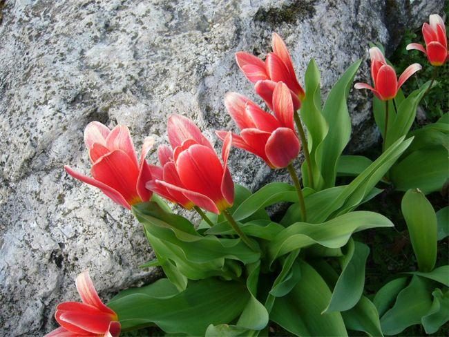 Bár sokan hirdetik, hogy a gondos kertész minden évben felszedi a tulipán, a jácint, a nárcisz, a krókusz hagymáit, ezt nem szükséges minden alkalommal megtenni. Tulipánhagyma gondozási tanácsok Dr. Komiszár Lajos, a kiskert és a virágkötő tanfolyam szakemberének ismertetője alapján. Mely növények a hagymások? A hagymás, gumós, hagymagumós és rizómás fajokat hagymás növényeknek, röviden hagymásoknak nevezzük. Ezek az évelő, általában lágyszárú növények. Módosult földbeli hajtásaikban vagy…