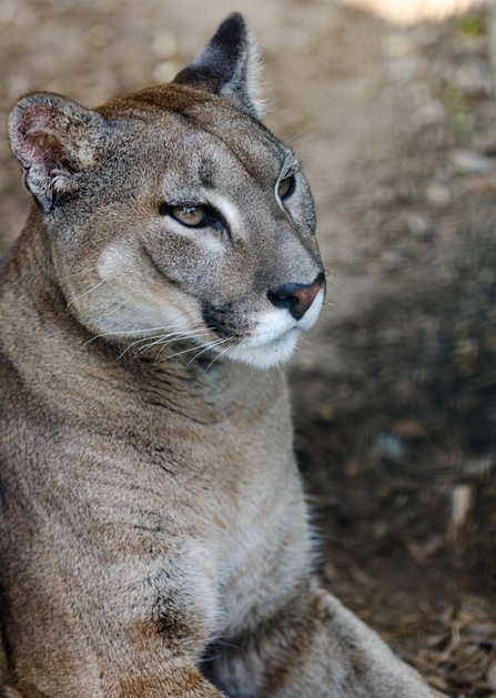 plain cougar women The cougar (puma concolor cougar coloring is plain in 2012 a 23-year-old woman was found dead in a mountainous area in salta province, northwest argentina.
